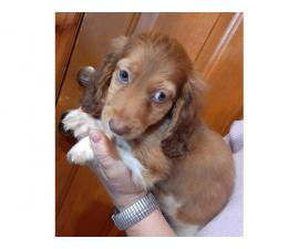 10 weeks old Full-blooded Dachshund Puppy
