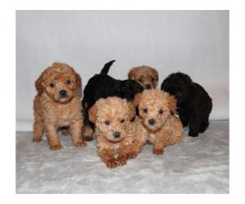 Beautiful Boys and Girls Cavapoo puppies available...