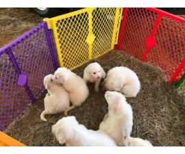 7 weeks old Healthy Great Pyrenees puppies