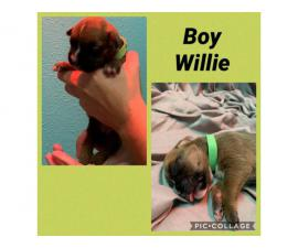 3 males and 3 females Boxer puppies available