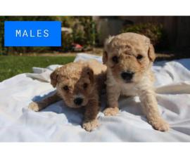 2 Females 2 Males poodle Puppies