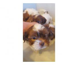 2 females and 1 male Shih tzu puppies