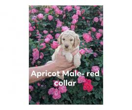 F2 Golden Doodles puppies for sale