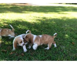 Basset Hound puppies in search of their foster families