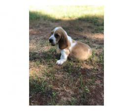 Basset Hound Puppies In Search Of Their Foster Families In Farmers Branch Texas Puppies For