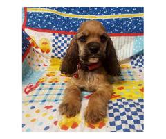 10-week old Sable Cocker Spaniel pup