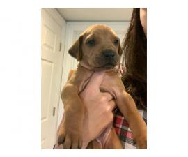 4 female Rhodesian puppies available