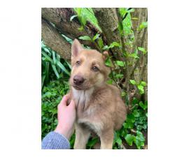 10 weeks old Shepsky puppy looking for new homes