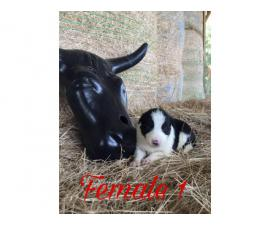 Black and White Border Collie puppies up for Adoption