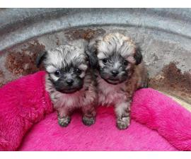 2 Shichon Teddy Bear Puppies rehoming