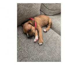 Boxer puppy need new home