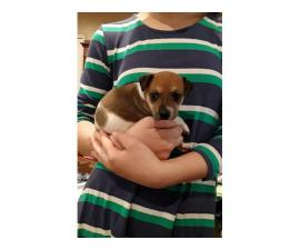 Rat terrier puppies for rehome