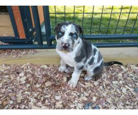 2 boy Catahoula puppies