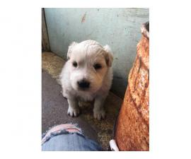 One male Komondor puppy for sale