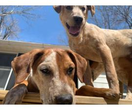 Redtick Coonhound Puppies looking for homes