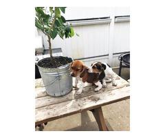 10 weeks Beagle Puppies