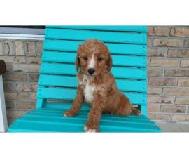 4 mini Goldendoodles available