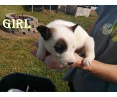 Blue Heeler puppies pups need a sweet home