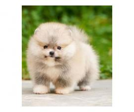 Gorgeous Pomeranian Boys and Girls puppies available...