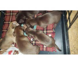 3 boys and 2 girls Chiweenie puppies