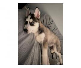 2,5-month-old Siberian husky puppy looking for a new home