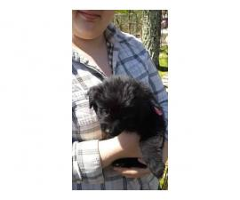 4 males and 3 females Newfies available