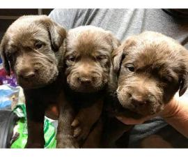 Chocolate Lab Puppies available for sale