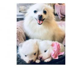 Pomeranian Pure White Kc Teddy Bears