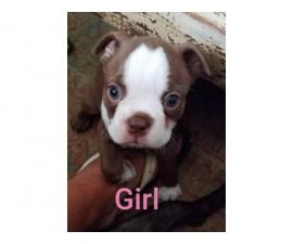 Gorgeous Boston Terrier Puppies Looking for caring family