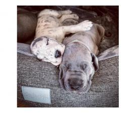 Smart Great Dane Puppies