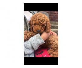 Red Cavapoo Puppies For Sell