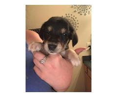 Rehoming 7 weeks old Beaglebull puppies