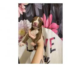 One female pitbull puppy for a loving home only