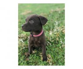 Need to rehome Chocolate lab puppies