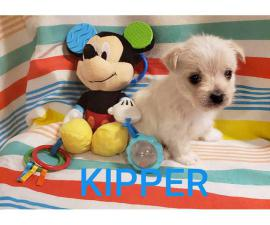 Morkie puppies Males and Females