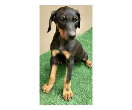 Good behave Doberman Puppies