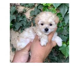 Beautiful toy puppies Coton de Tulear