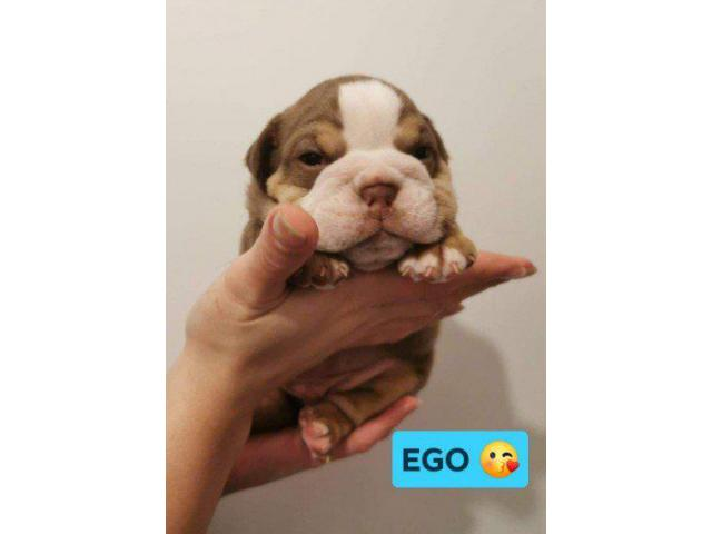 Lilac And Tan English Bulldog Puppies In Belle Glade Florida Puppies For Sale Near Me