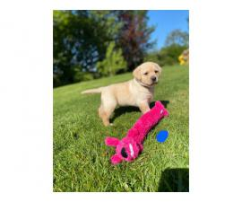 Champion Line  labrador retriever puppies are available now