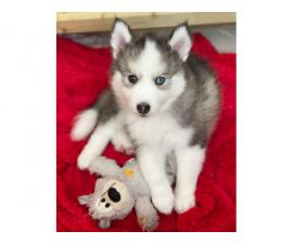 Amazing Pomsky Puppies Available Now For New Homes In Glasgow Montana Puppies For Sale Near Me
