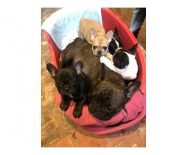 French Bulldog Pups available now