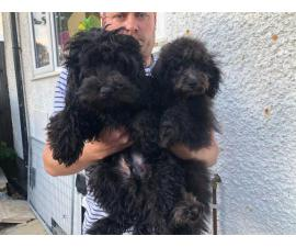 Gorgeous Cuddly Cavapoo Puppies For Sale