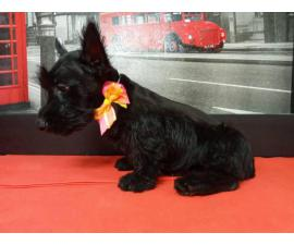9 weeks old Scottish terriers ready to go now