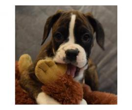 Cute Boxer Puppy for sale $550