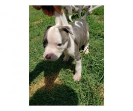 6 weeks old Pit bull puppies for sale