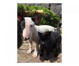 Mini Family bred english bull terrier puppy