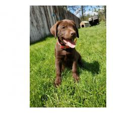 Need to rehome one female chocolate lab puppy left