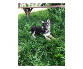 Excellent temperament German Shepherd puppies