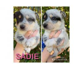 8 Texas Heeler puppies looking for good homes