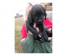 Three Labradane puppies  looking for a new family